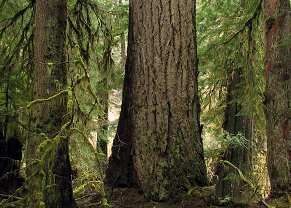 douglas-fir-tree (1)