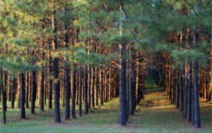 Poles-Southern Yellow Pine