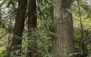 Poles- Western Red Cedar